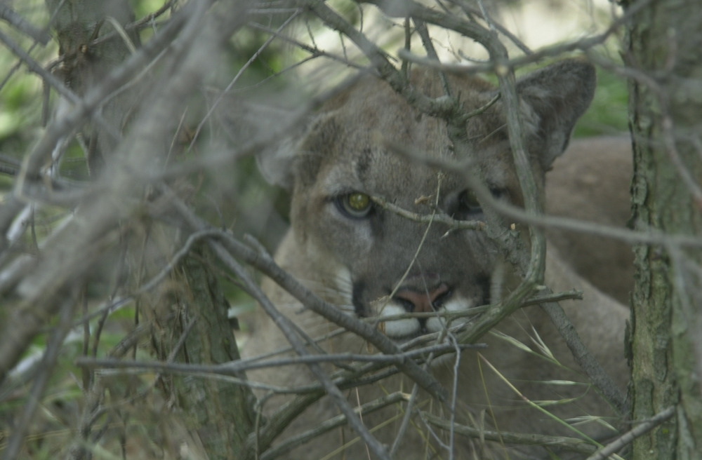 A  picture of P03 at his first capture.  He was captured north of the  101-freeway and was one of two mountain lions to die of anticoagulant  poisoning in Santa Monica Mountains National Recreation Area.
