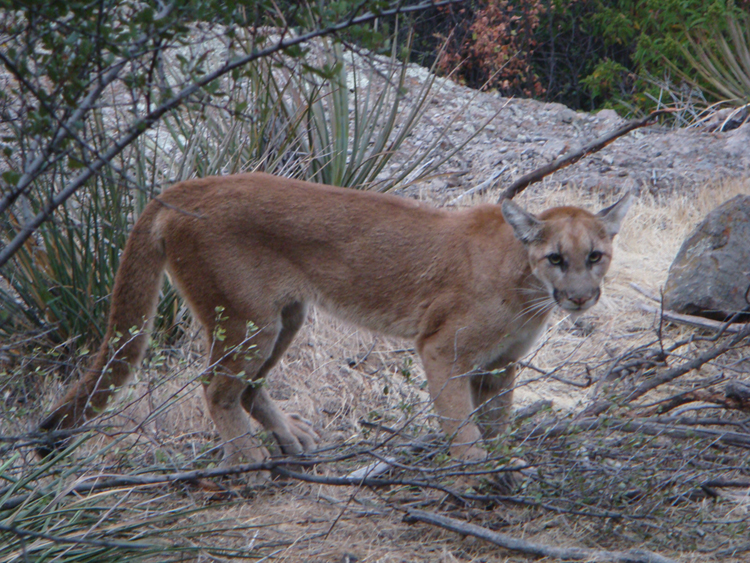 A photo of P13 captured in July 2009 near Point Mugu State Park. At the time of this picture she was a young female not yet fully grown. She has since grown into an adult mountain lion.
