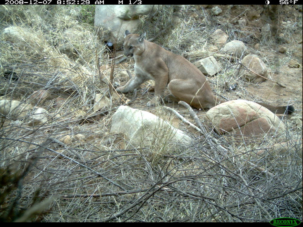 A remote camera photo of P12 at his first capture in the Simi hills in 2008. Since this photo he crossed the 101-freeway and now remains south of the freeway in the Santa Monica Mountains.