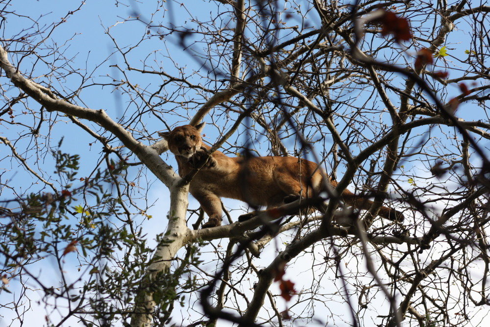 A photo of P14 in a tree during one of his captures. Mountain lions can, and will, climb trees.