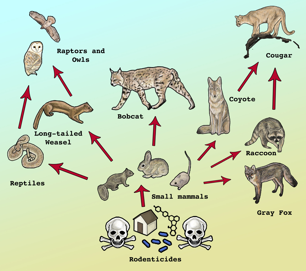 This  illustration proposes a simple food web for the Santa Monica Mountains.  Even though depicting only a few of the potential relationships that  exist between wildlife species in the Santa Monica Mountains, many  wildlife species can be affected when a single home uses anticoagulant  rat poisons (rodenticides).
