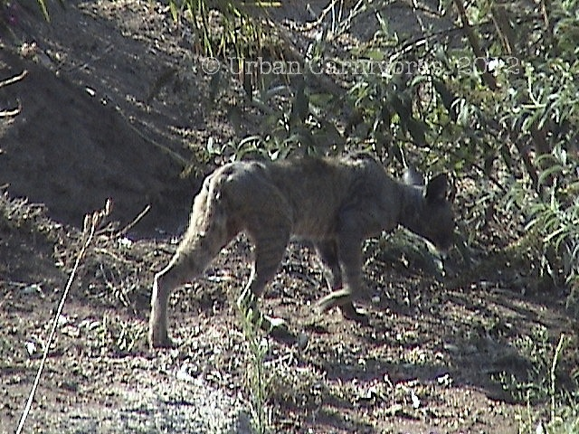 A photo of a bobcat with severe mange in San Diego County.  This bobcat died of mange, likely associated with anticoagulant rat poison exposure.