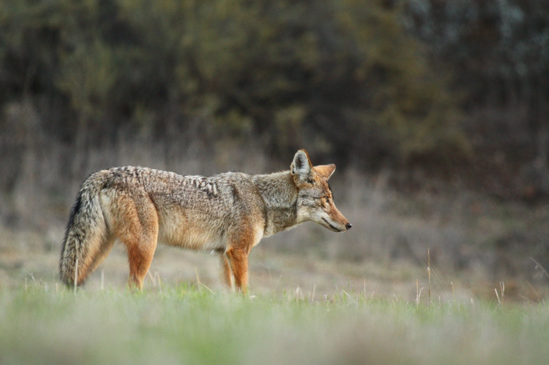 A photo of a coyote taken in Cheseboro Canyon in the Simi Valley.  Photo taken by Jared Hughey.