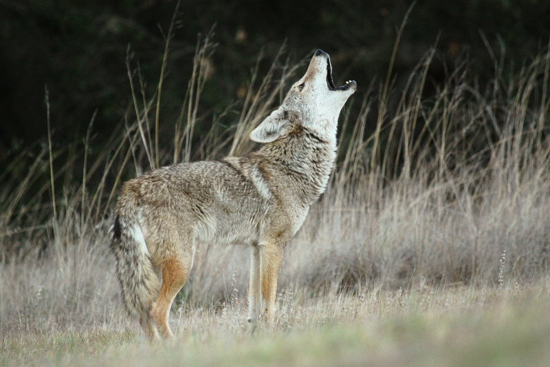 Howling coyote!  Coyotes are well known for their howling songs, often heard at night in both urban and natural areas around the Santa Monica Mountains.  Song is important for communication between coyotes.   Photo taken by  Jared Hughey .