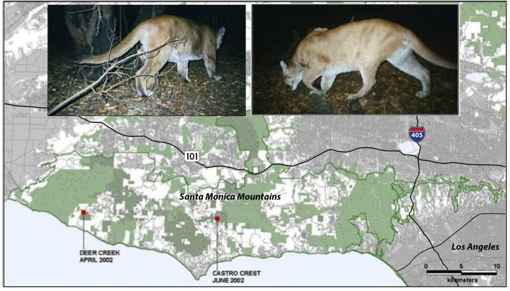 The first photographic evidence of mountain lions was captured at Deer Creek and Castro Crest in the Santa Monica Mountains in 2002.