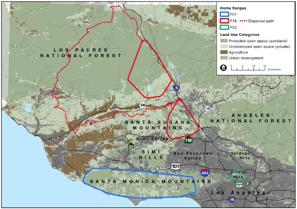A map of three mountain lion home ranges in the Santa Monica Mountains mountain lion study area. P16's home ranges, in red, show the natural dispersal behavior of young males. Starting with a home range in an area near where they are born, once they are ready to establish their own, long-term home range, they will explore a large area to find unoccupied territory where they settle (the larger red polygon in the north). Notice for P01's home range (in blue) it is the entirety of the Santa Monica Mountains.