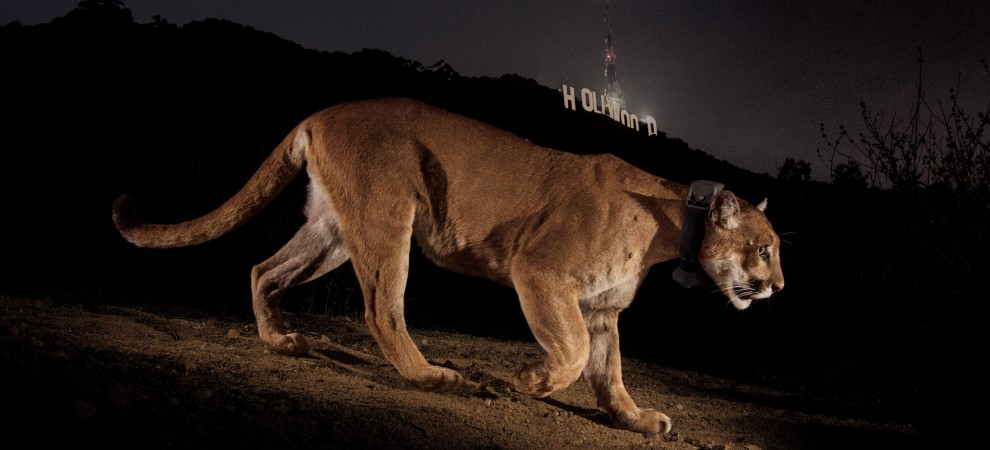 P22 The Hollywood Lion Urban Carnivores