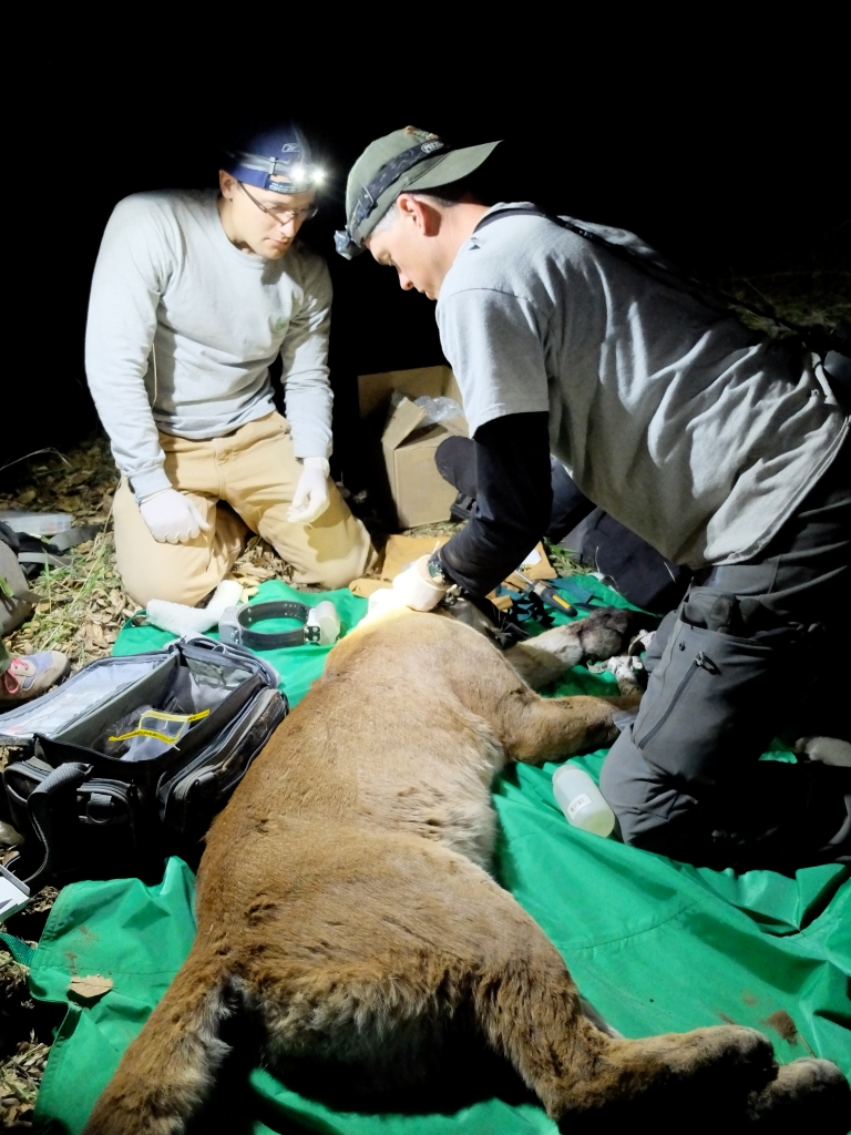 P35 at the time of capture being radio-collared by mountain lion biologist Jeff Sikich (right).