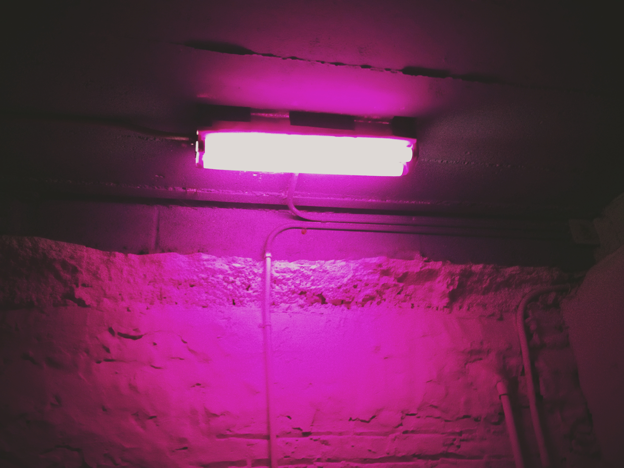 Purple Haze - #peppersearching #pepper #photos #lights #purple