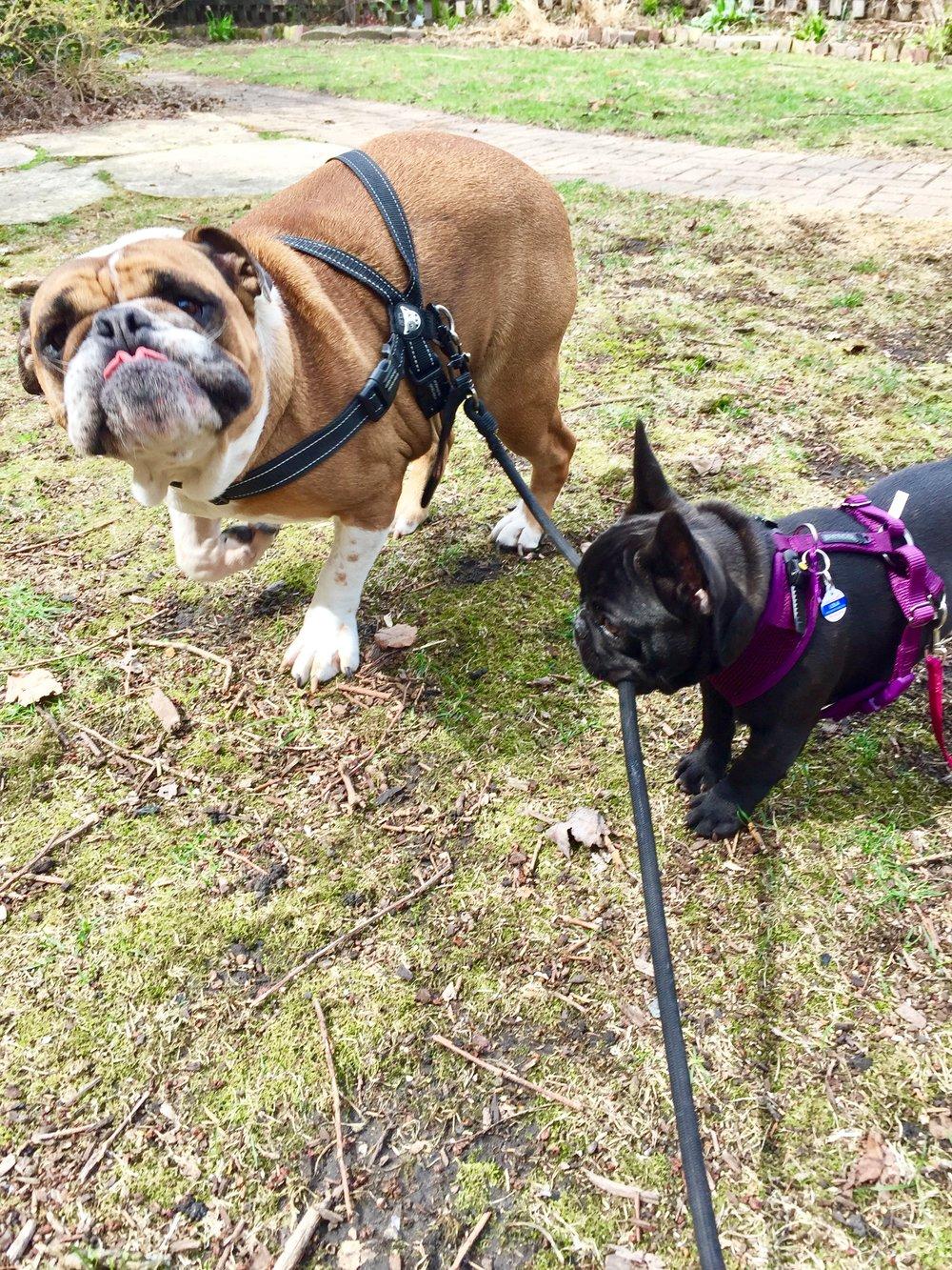 Angus (English bulldog) and Lola (teeny French blip) going for a walk.