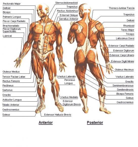 Male-Musculoskeletal-System.jpg
