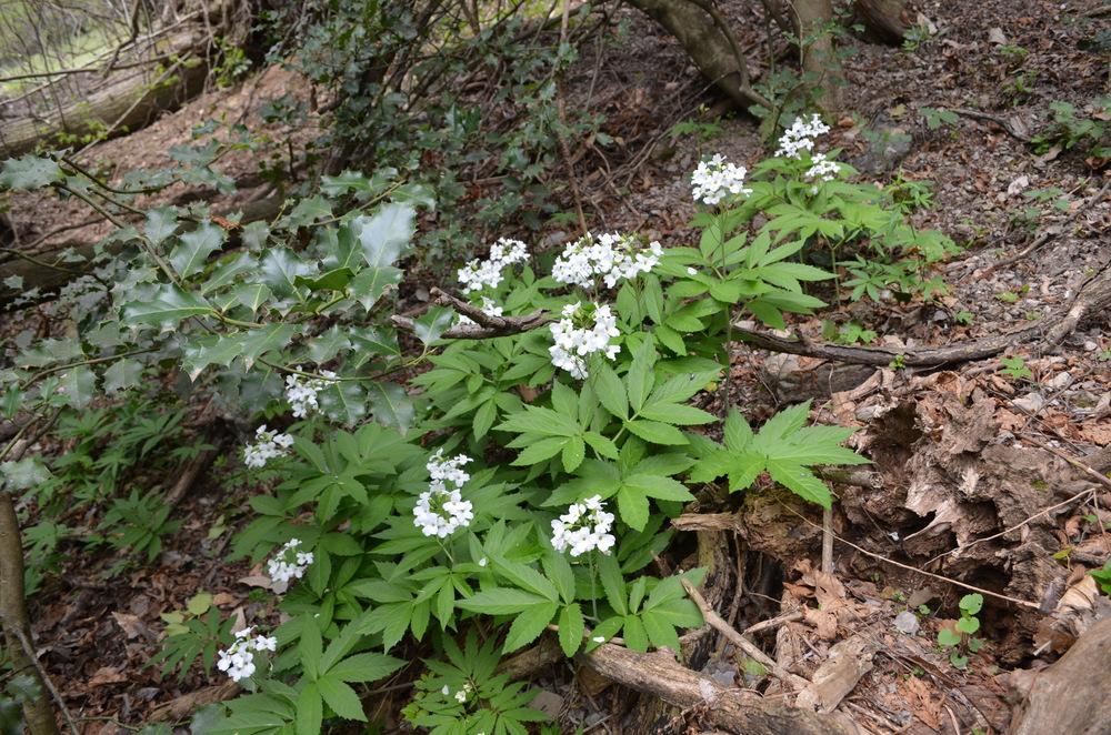 Dentaria pennata;  Cardamine heptaphylla  (Brassicaceae). Foto: D. Frey