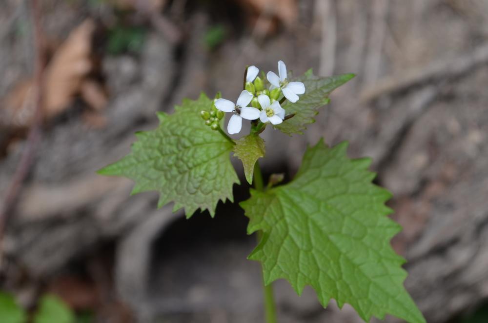 Alliaria comune;  Alliaria petiolata  (Brassicaceae). Foto: D. Frey