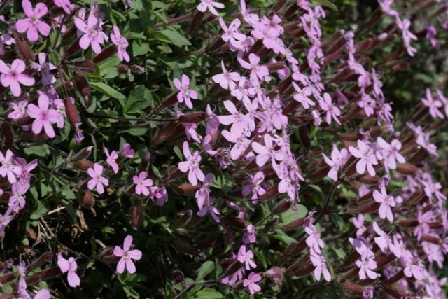 "Normal   0         21       false   false   false     DE-CH   X-NONE   X-NONE                                        MicrosoftInternetExplorer4                                             Saponaria rossa;  Saponaria ocymoides  (Caryophyllaceae). Foto: F. Andres                                                                                                                                                                                                                                                                                                     /* Style Definitions */  table.MsoNormalTable 	{mso-style-name:""Tabella normale""; 	mso-tstyle-rowband-size:0; 	mso-tstyle-colband-size:0; 	mso-style-noshow:yes; 	mso-style-priority:99; 	mso-style-qformat:yes; 	mso-style-parent:""""; 	mso-padding-alt:0cm 5.4pt 0cm 5.4pt; 	mso-para-margin:0cm; 	mso-para-margin-bottom:.0001pt; 	mso-pagination:widow-orphan; 	font-size:10.0pt; 	font-family:""Calibri"",""sans-serif"";}"