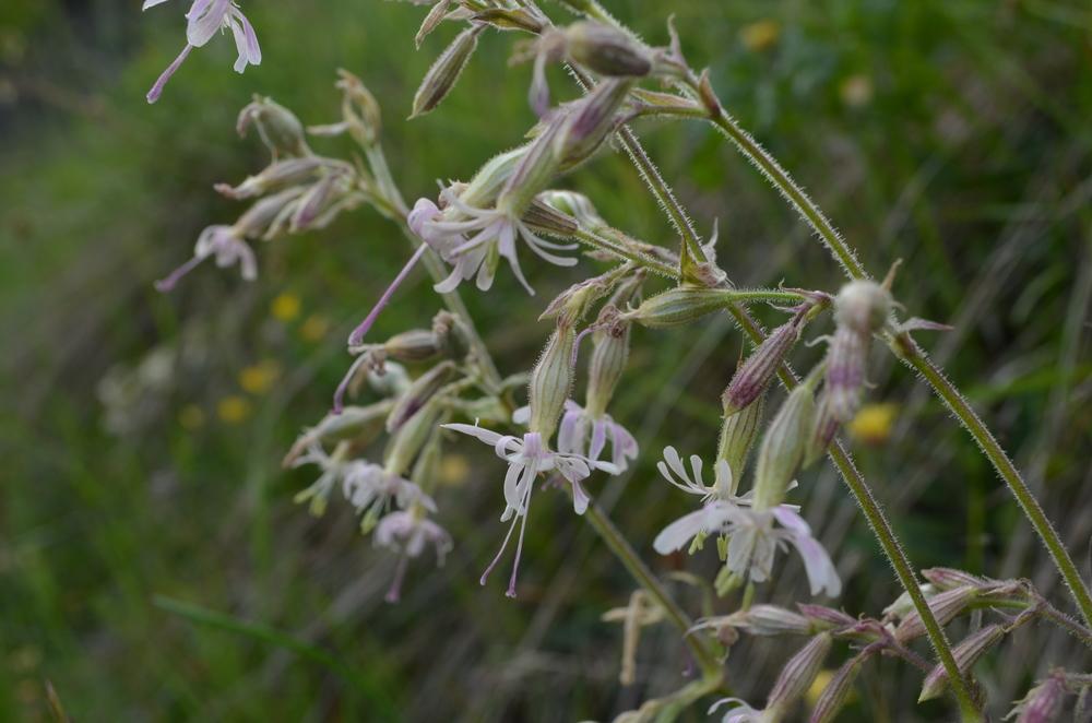 Silene ciondola; Silene nutans (Caryophyllaceae)