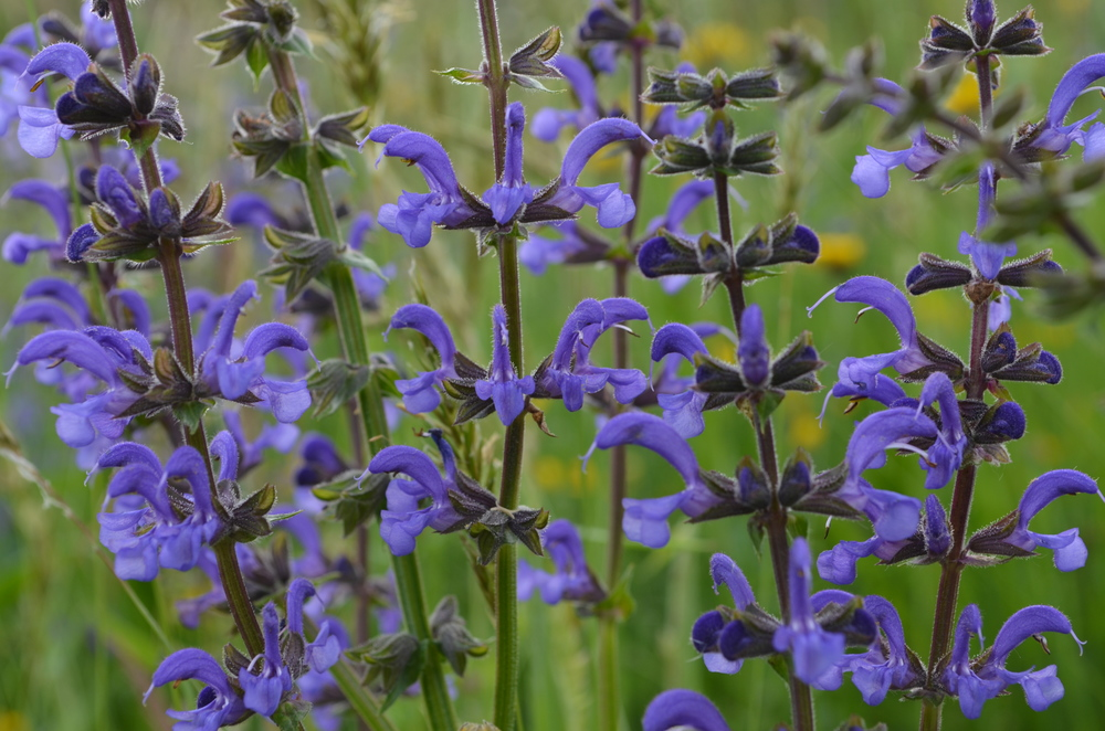 Salvia comune; Salvia pratensis (Lamiaceae)