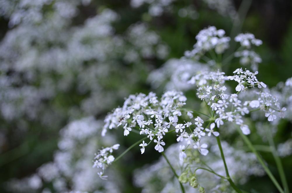 Cerfoglio selvatico; Anthriscus sylvestris (Apiaceae)