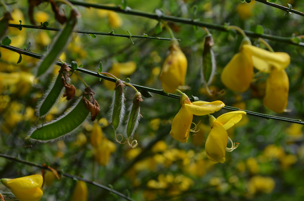 Citiso scopario; Cytisus scoparius (Fabaceae)