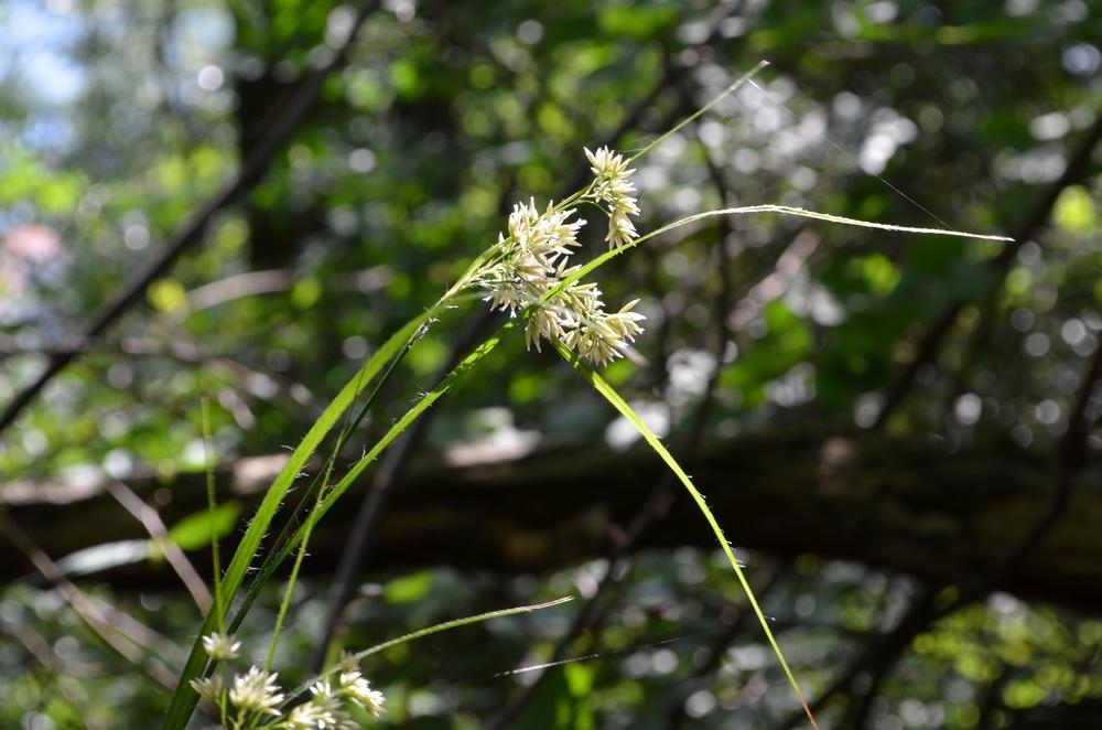 Erba lucciola maggiore; Luzula nivea (Juncaceae)