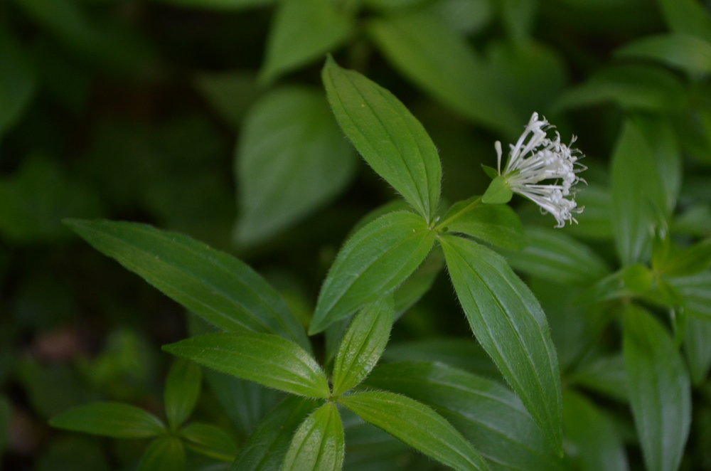 Stellina cruciata; Asperula taurina (Rubiaceae)