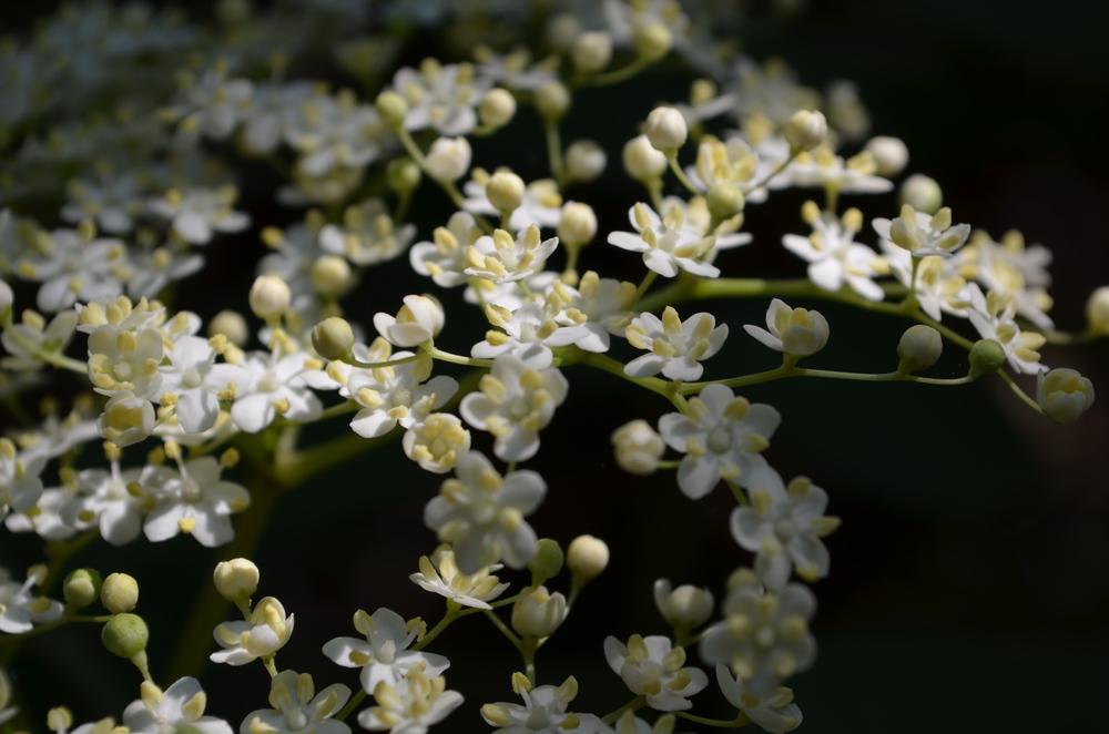 Sambuco comune; Sambucus nigra (Adoxaceae)