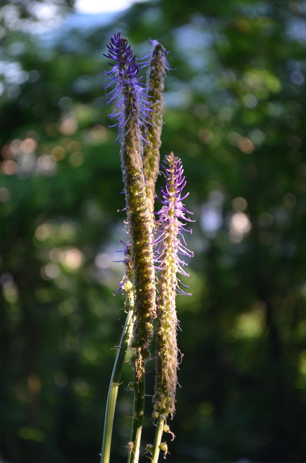 Raponzolo a foglie di scorzonera, Phyteuma scorzonerifolium (Campanulaceae)