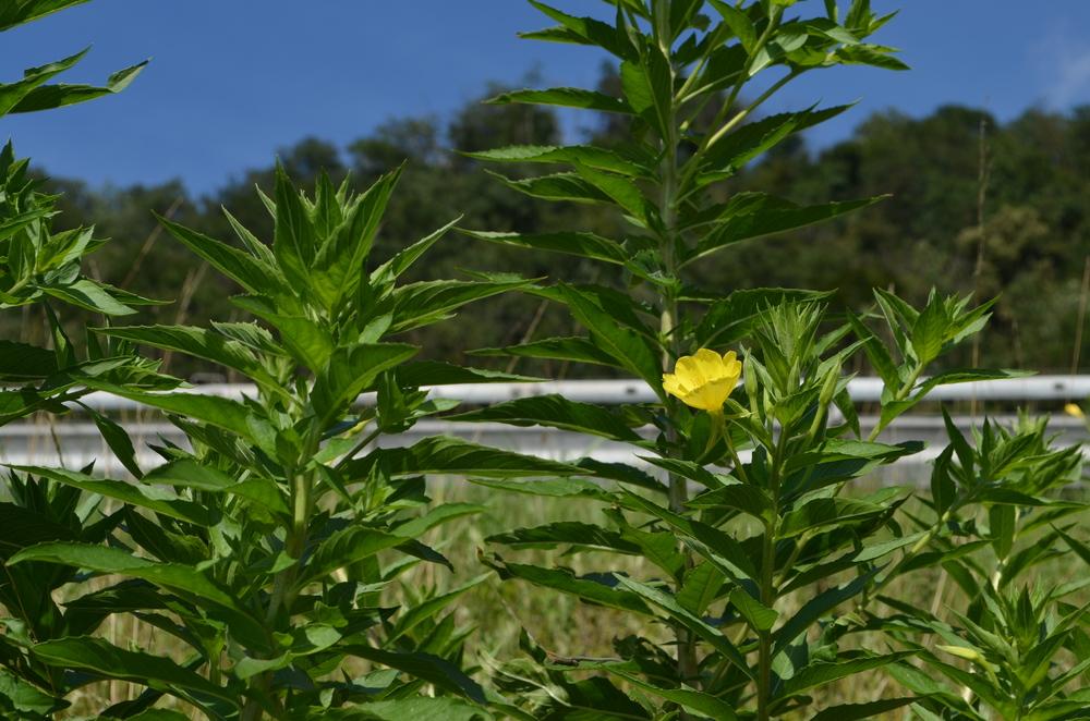 Enagra comune,  Oenothera biennis  (Onagraceae)    Origine:  America settentrionale