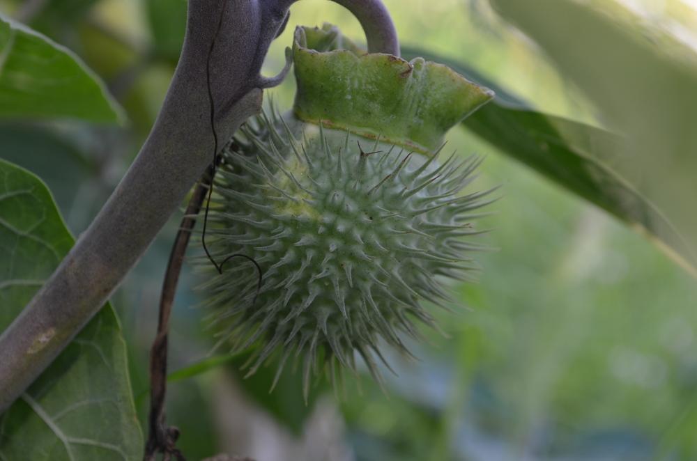 Stramonio   ,     Datura inoxia    (Solanaceae)    Origine:  America centrale e meridionale