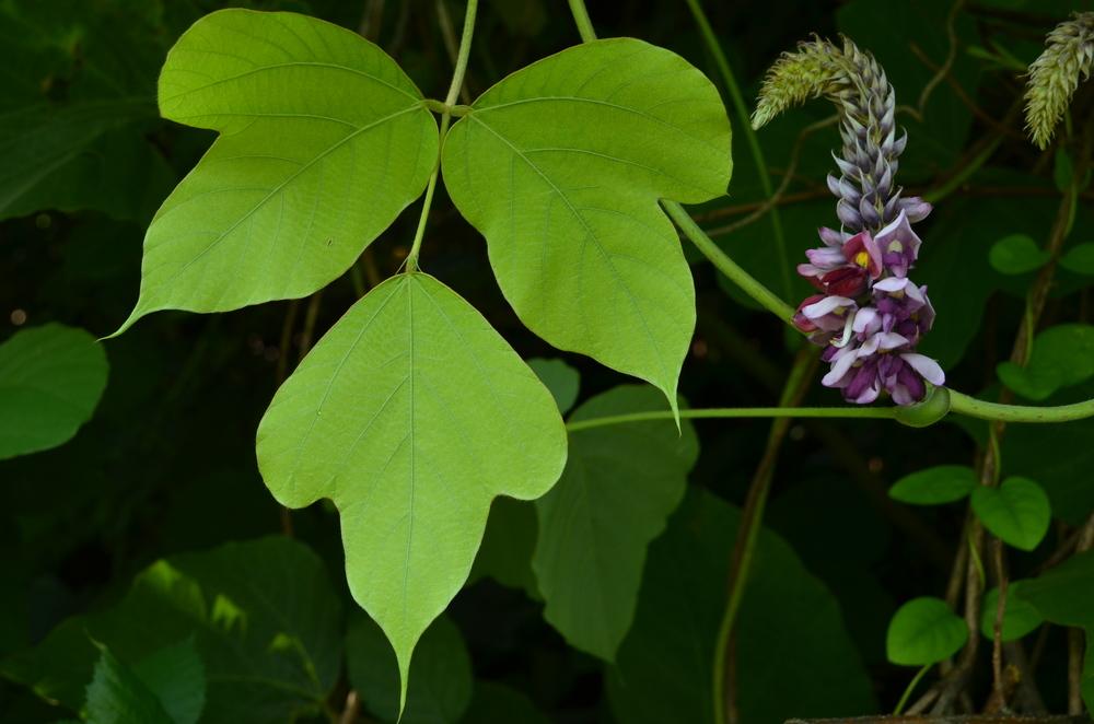 Pueraria irsuta,  Pueraria lobata  (Fabaceae)