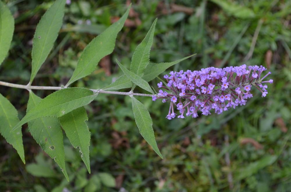 Buddleja,  Buddleja davidii  (Scrophulariaceae) Origine: Cina