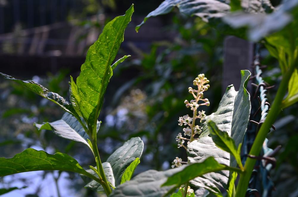 Cremesina uva turca,  Phytolacca americana  (Phytolaccaceae) Origine: America settentrionale