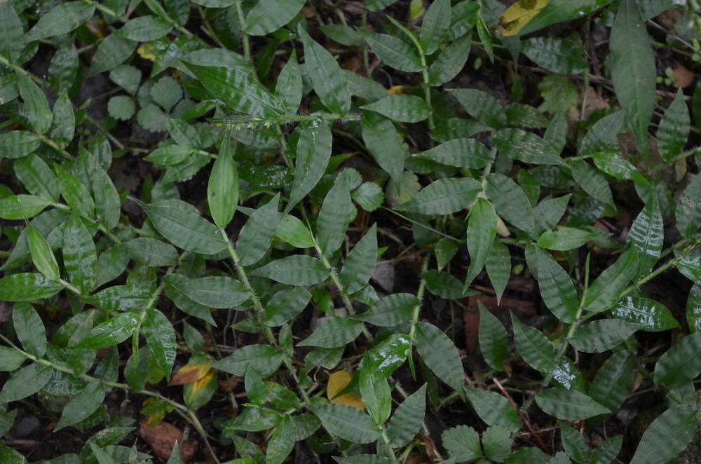 Miglio ondulato,  Oplismenus undulatifolius  (Poaceae)
