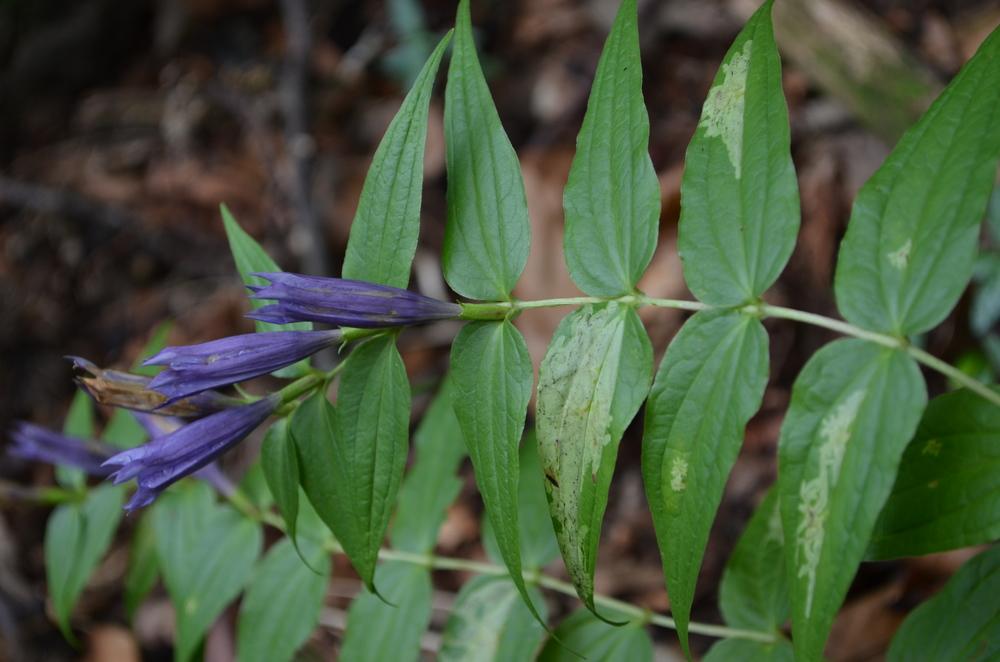 Genziana asclepiade,  Gentiana asclepiadea  (Gentianaceae)