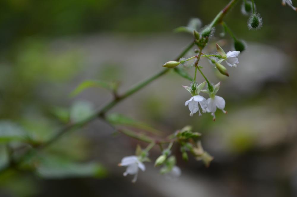 Erba maga comune,  Circaea lutetiana  (Onagraceae)