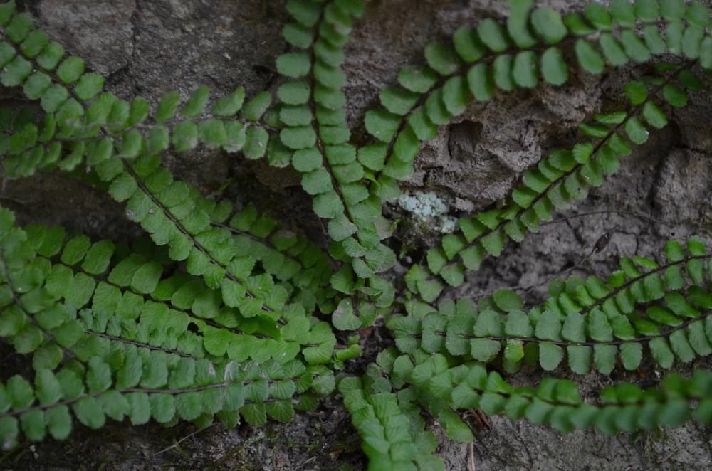 Asplenio tricomane,  Asplenium trichomanes  (Aspleniaceae)