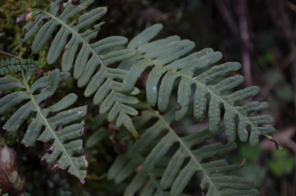 Polipodio comune,  Polypodium vulgare  (Polypodiaceae)