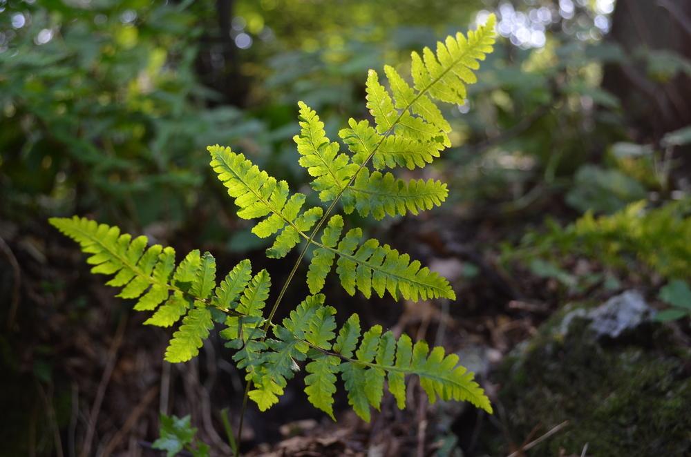 Felce del calcare,  Gymnocarpium robertianum  (Woodsiaceae)
