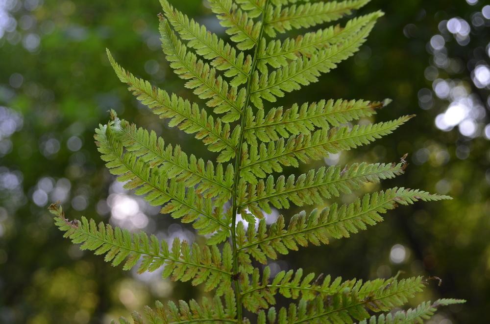 Felce femmina,  Athyrium filix-femina  (Woodsiaceae)