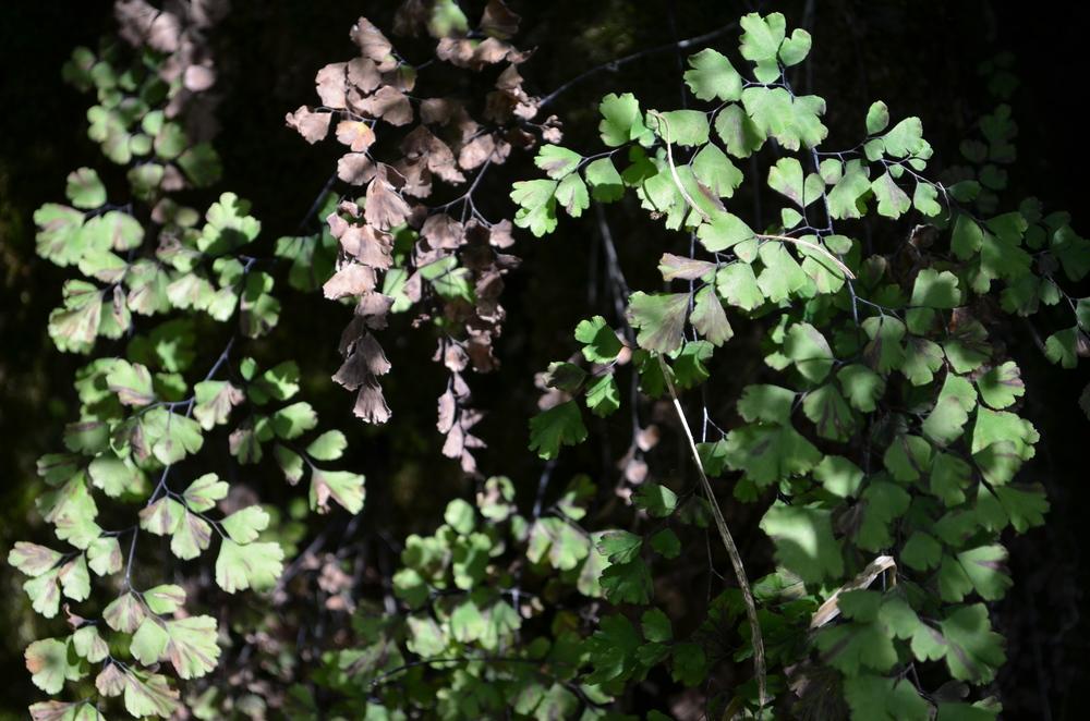 Capelvenere comune,  Adiantum capillus-veneris  (Pteridaceae)