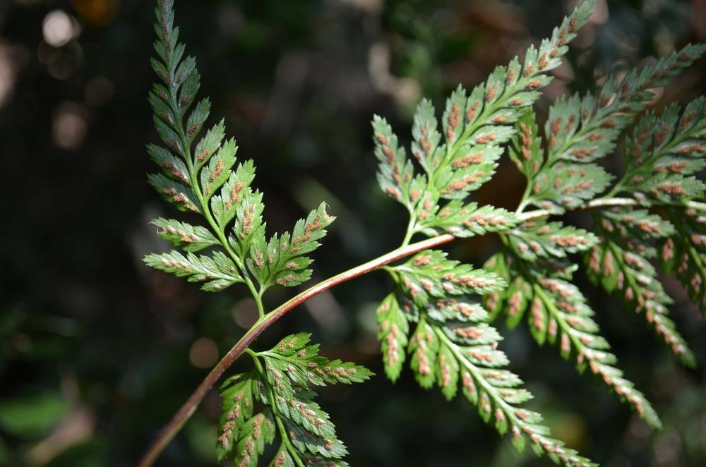 Asplenio adianto nero,  Asplenium adiantum-nigrum  (Aspleniaceae)
