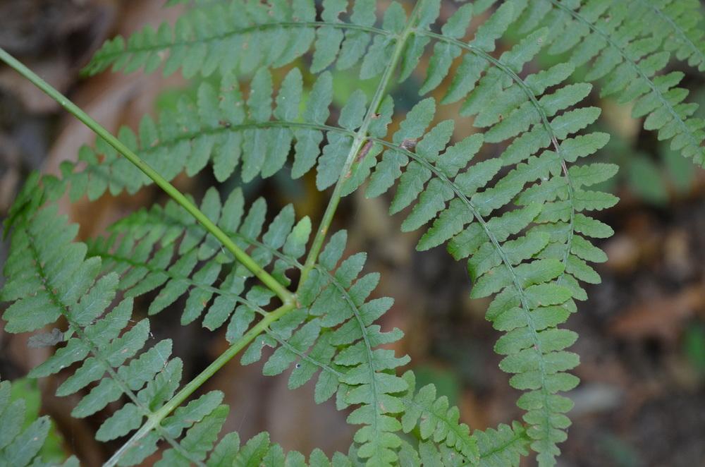 Felce aquilina,  Pteridium aquilinum  (Dennstaedtiaceae)