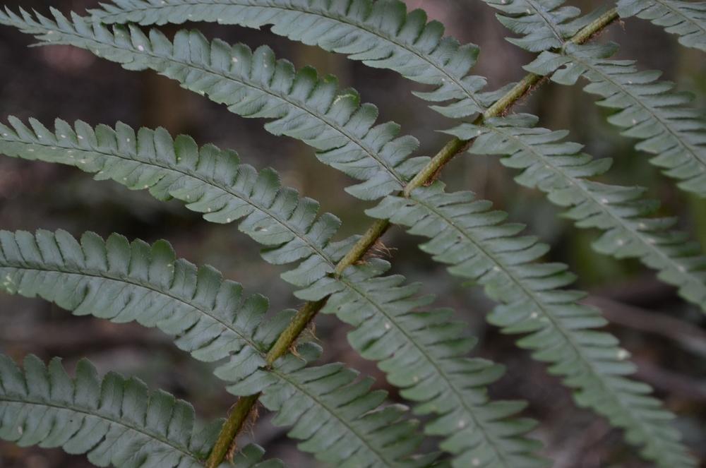 Felce pelosa,  Dryopteris affinis  (Dryopteridaceae)