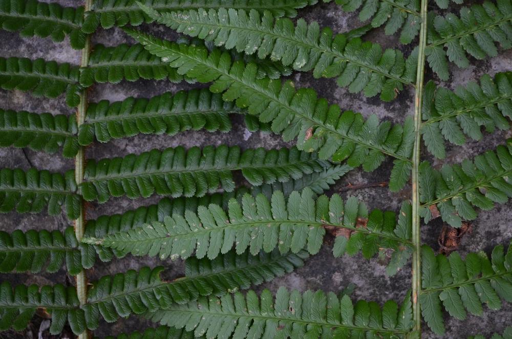 sinistra:  Felce pelosa,  Dryopteris affinis  (Dryopteridaceae)    destra:Felce maschio,  Dryopteris filix-mas  (Dryopteridaceae)