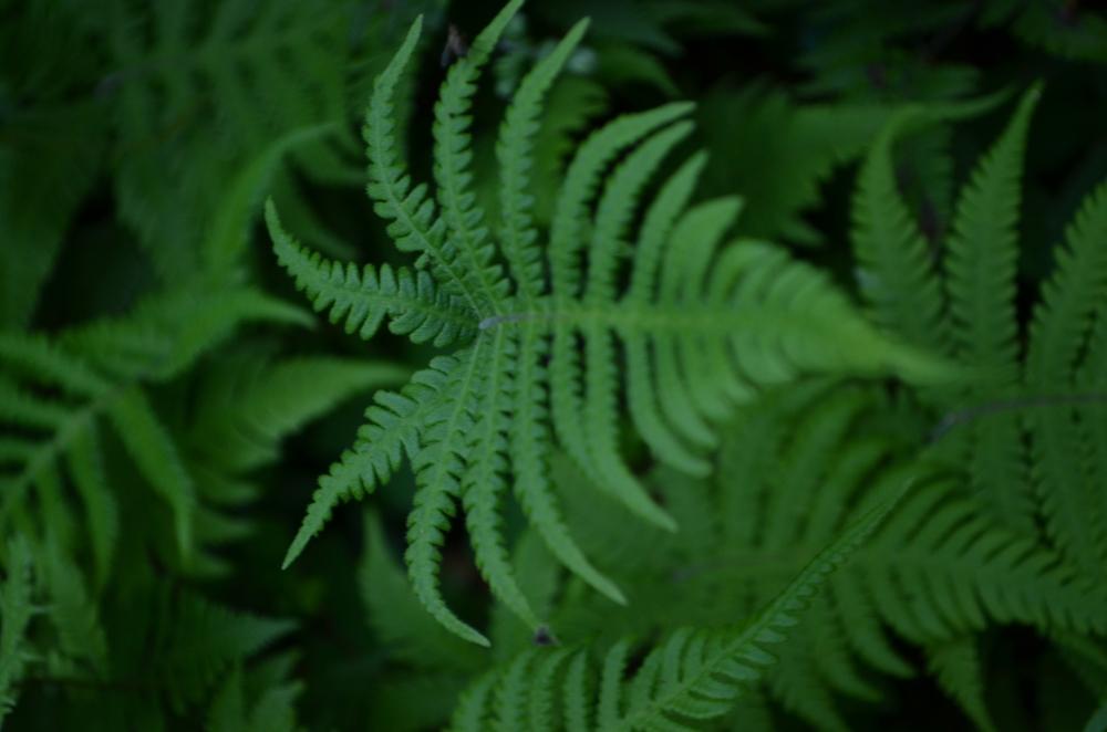 Felce dei Faggi,  Phegopteris connectilis  (Thelypteridaceae)