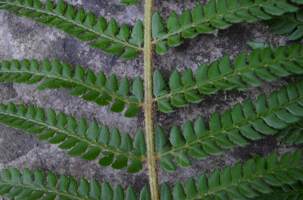 Felce setifera,  Polystichum setiferum  (Dryopteridaceae)