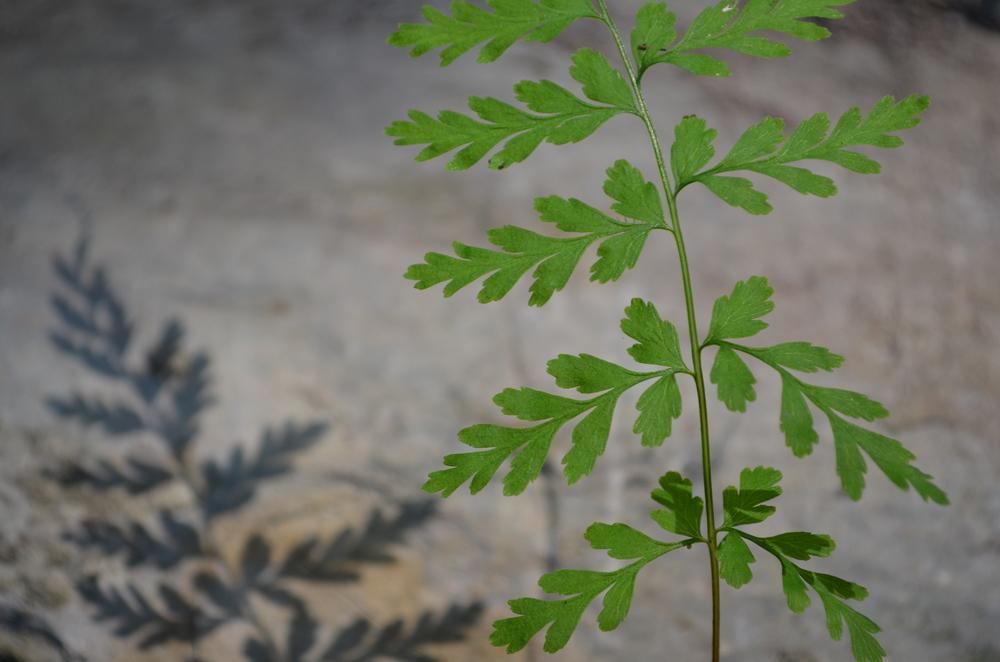 Felcetta fragile,  Cystopteris fragilis  (Woodsiaceae)