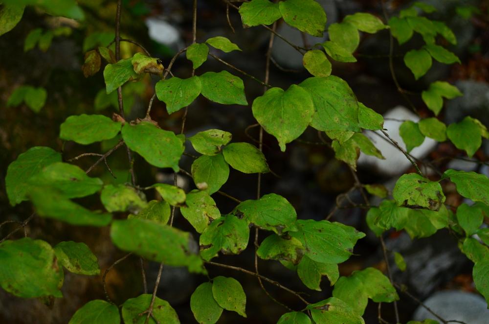 Corniolo maschio,  Cornus mas  (Cornaceae)