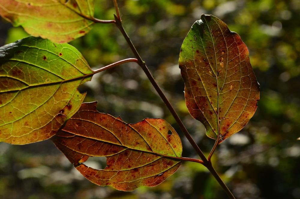 Corniolo sanguinello,  Cornus sanguinea  (Cornaceae)
