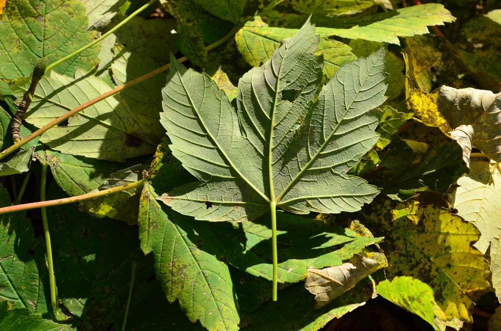 Acero di monte,  Acer pseudoplatanus  (Sapindaceae)