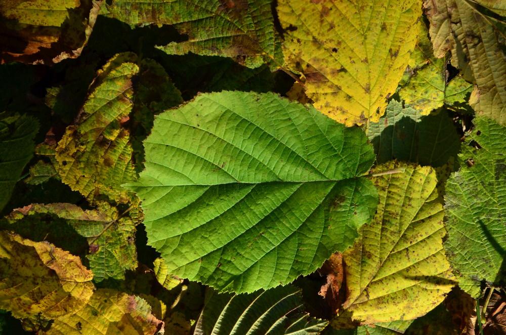 Nocciolo,  Corylus avellana  (Betulaceae)